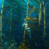Hiding behind the kelp