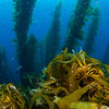 Kelp forest and blue water