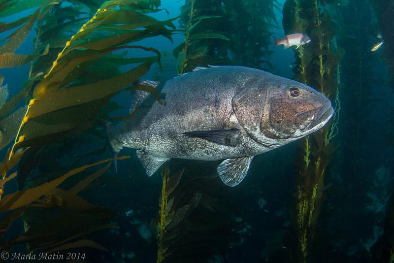 Giant sea bass