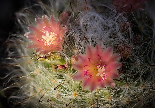 Mammillaria bocasana Cactus Blossoms
