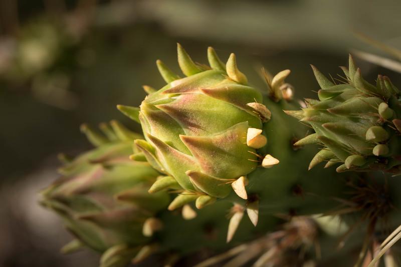 Botanical Study #4, Tucson