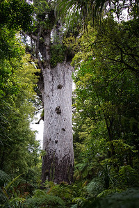 Tane Mahuta, the lord of the forest