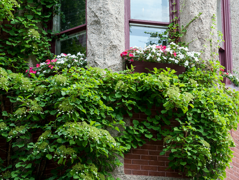 Climbing Hydrangea and window boxes