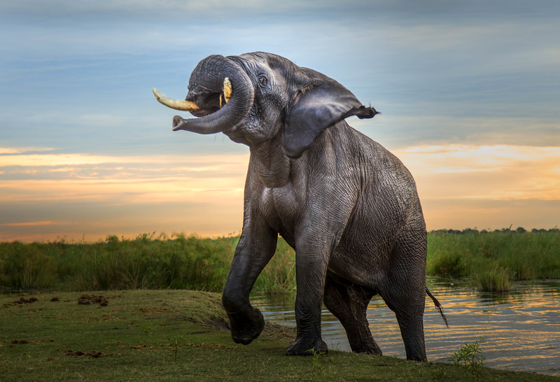Bull elephant in musth; a condition of high testosterone and low tolerance for anyone in his path.