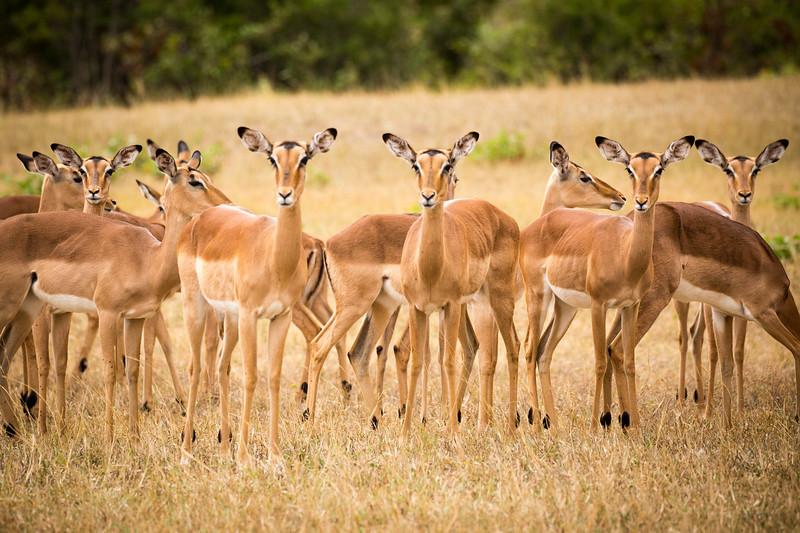 Impala Ears Up