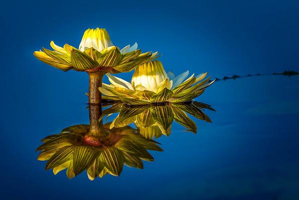 Water Lilies, Botswana