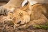 Lion Cub Sleeping