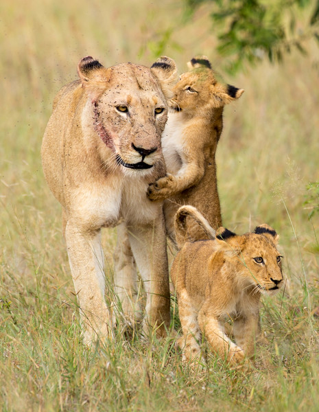 This lioness had just made a kill and her face was covered in antelop blood and flies.  After the hunt she came to fetch her cubs and lead them to the food.