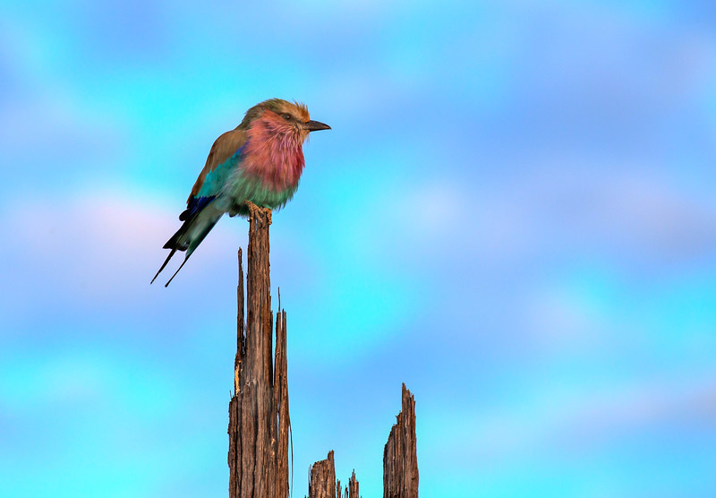 A Lilac-breasted Roller's colors almost match the sunrise.