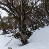 Snow Gums in the Snow