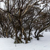 Snow gums in the snow.