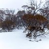 Snow gums in a snow drift.