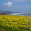 Sea of mustard