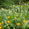 Wild cucumber and poppies