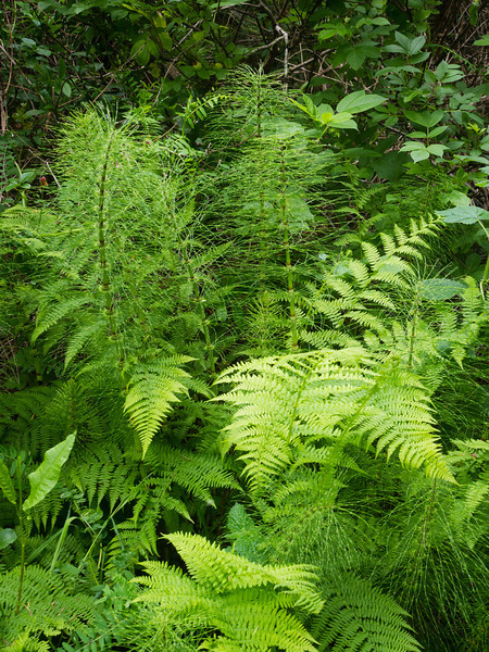 Horsetails and ferns