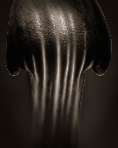 Jack in the Pulpit Detail  #1