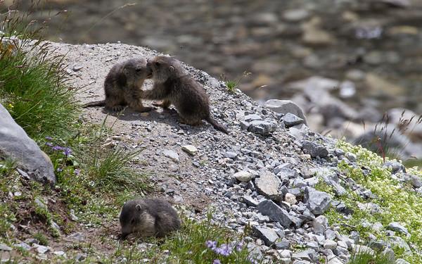 Murmeltiere bij Lago d'Apzoi