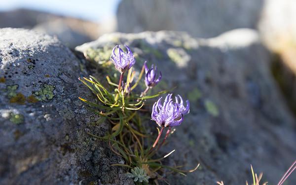 passo andolla, phyteuma hemisphaericum