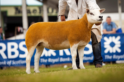 Gordon Gray's first prize shearling ewe and reserve female champion