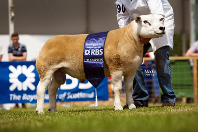 Ian Murray's first prize shearling tup, male champion and overall champion