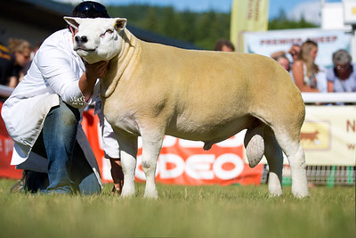 First prize aged tup and male champion, Coolingel Thor