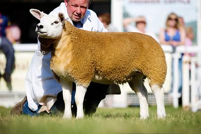 First prize ewe lamb PFD1403549