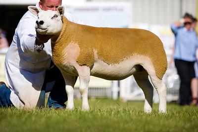 First prize shearling ewe PFD1302557