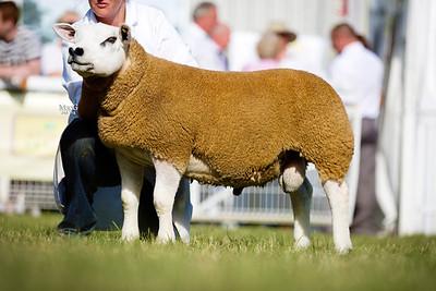 First prize ram lamb PFD1403604