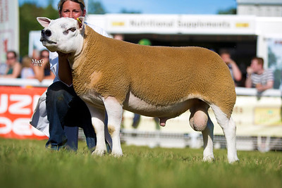 First prize shearling ram Tophill-Union-Jack