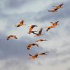 Sandhill Cranes Descending