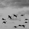 Cranes Ascending