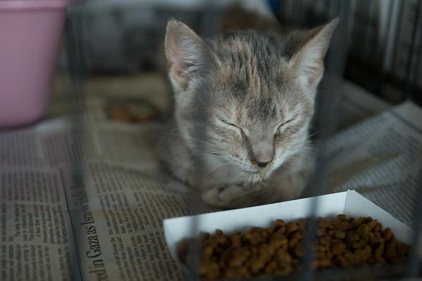 JOED VIERA/STAFF PHOTOGRAPHER-Niagara Falls, NY-A cat combating a sinus infection that was rescued from a Newfane residence lays at the Niagara Falls' SPCA on Wednesday, August, 27th.