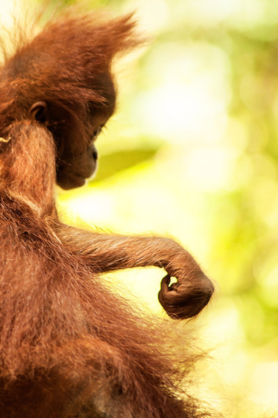 This baby orangutan is still fairly helpless, showing a clumsiness of movement and a reluctance to leave the safety of its mother's long hair.
