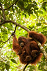 A mother orangutan sits on a branch with her young child cuddling close.