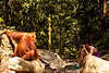 Aurora sits face to face with an orangutan, each studying the other intently.
