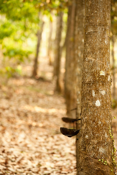 Rubber trees offer their latex to harvesters who stop by every morning at a certain hour to collect the day's supply and score one more line on the tree for the next morning.
