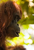 Orangutans as a species have been nearly eliminated from the wild by massive deforestation of this part of the world. We're told that they only exist in the wild on the islands of Borneo and Sumatra, and in numbers decreasing every year.