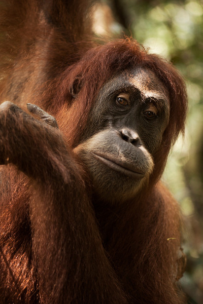 Close up photos of the local orangutans indicate just how close we were able to come to these rehabilitated animals in the jungles of their natural habitat.