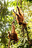 Two young orangutans chase each other through the leafy foliage.