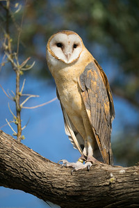 Barn owls are my absolute favorite