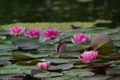 #63 Water Lilies near work
