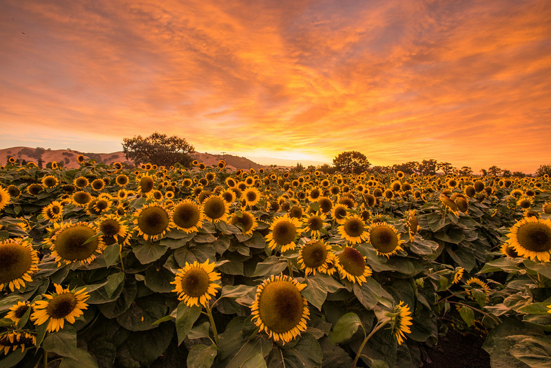 "The sunflower field. Low flowers, tall flowers, and lots of empty space :( Not good for doing my ""field of flowers"" shot"