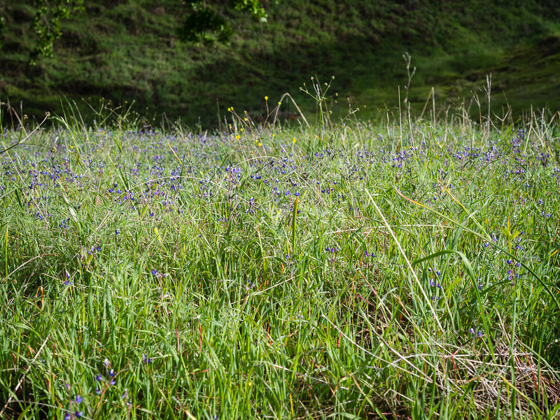 Lupines and buttercups