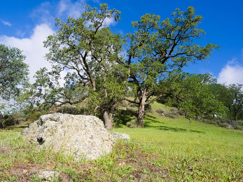 Spring oaks