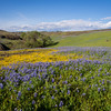 Lupines and goldfields