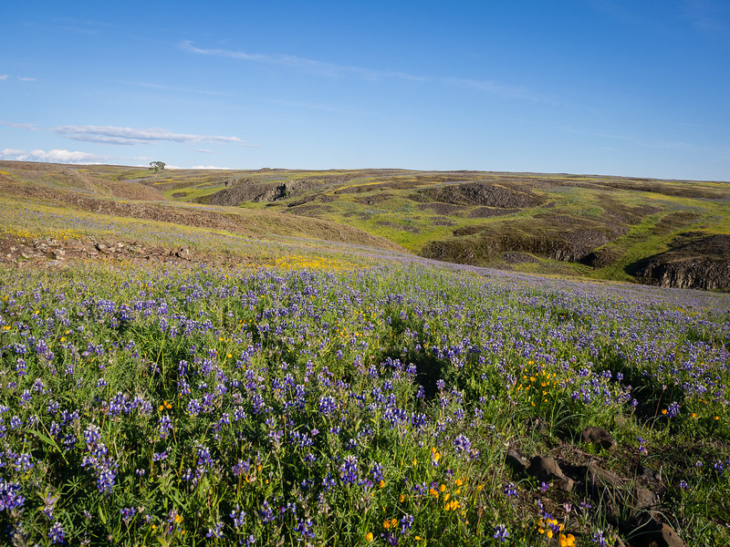 Lupines on the hilltop