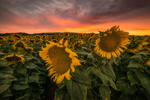 Sunflower field on a gorgeous stormy evening in Vacaville