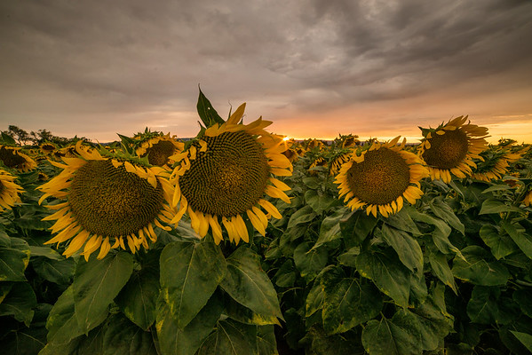 Sunflower field on a gorgeous stormy evening in Vacaville  The sunflowers are propped up ... especially the 2 on the right.