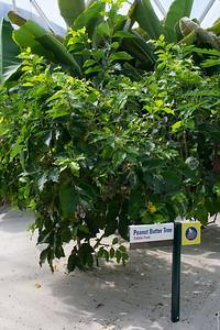 Peanut Butter Tree
