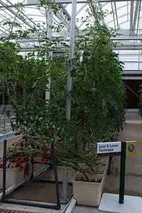 Big Tomato Plant